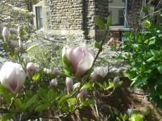Magnolia blossom in Malmesbury, spring 2014