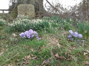 Crocuses at the Chancel, srping 2015