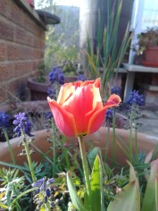 Tulip, spring 2015